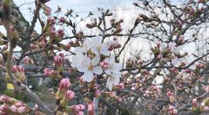 長野市の桜!ちょっとずつ開花してきました~!